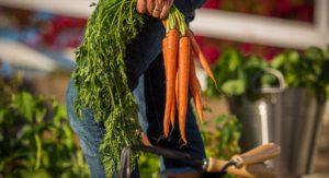 carrots, choosing the right soil