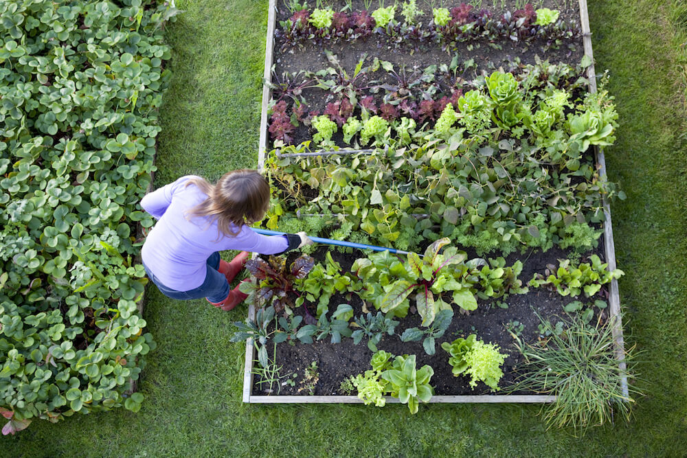 Overhead shot of a woman weeding raised beds in a vegetable garden with a blue handled hoe. Strawberry patch, carrots, lettuce, salad plants, beetroot, radish, onions, chive, chard and kale. (Overhead shot of a woman weeding raised beds in a vegetable.
