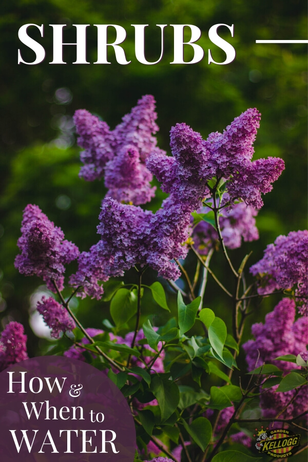 """A purple shrub with text, """"How and when to water shrubs"""""""