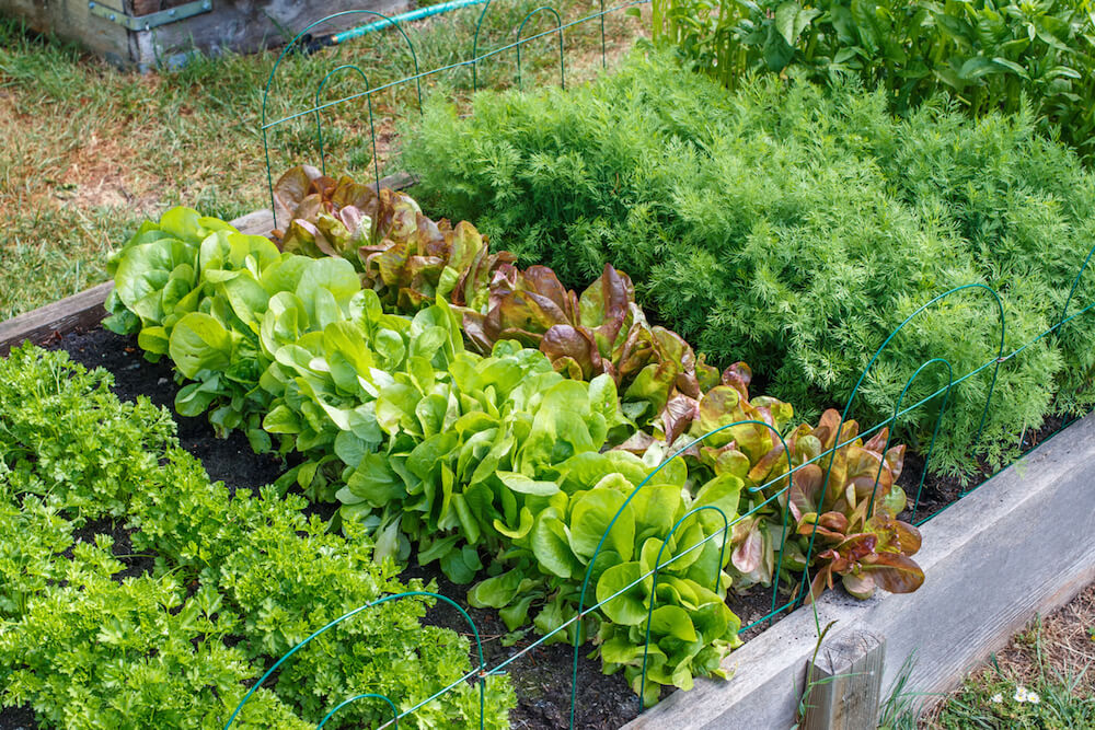 Rows of green vegetables grow an urban community garden.