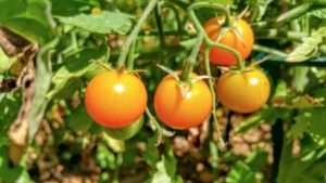 The colorful world of cherry tomatoes