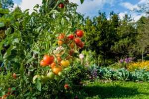 Organically Grown yellow, red, orange Cherry Tomatoes In Home Garden