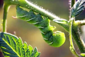 hornworm hanging on a plant stem