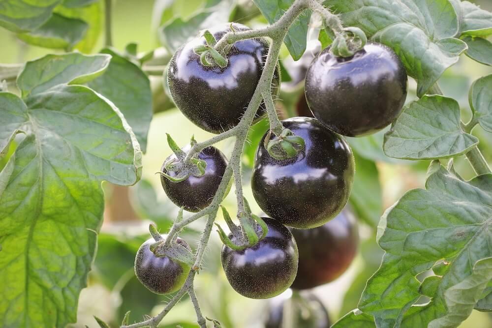 purple blackish tomatoes on a green vine