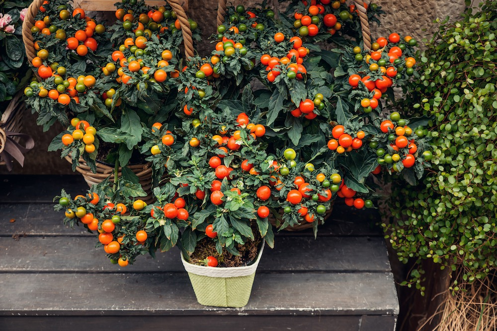 Potted orange and red cherry tomatoes plant