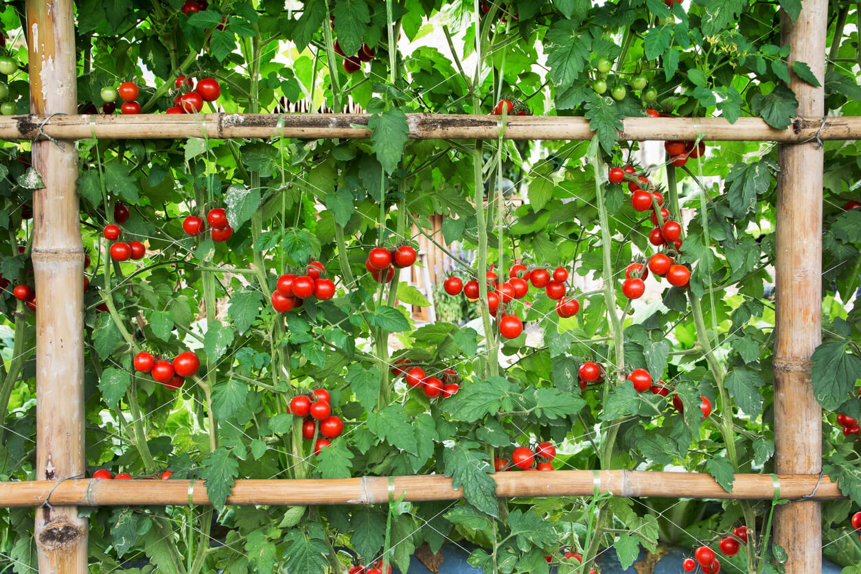 tomatoes growing on a bamboo trellis