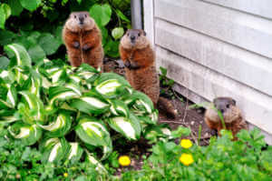 Two groundhogs eating in the garden.