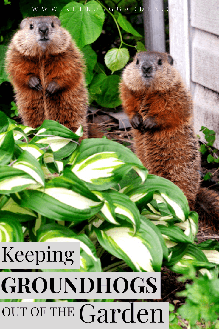 two groundhogs in the garden pin image