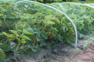 Plants covered with mesh to protect them from animals .