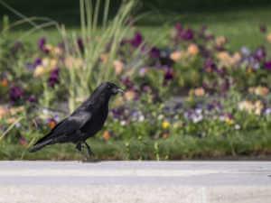 Black bird overlooking garden