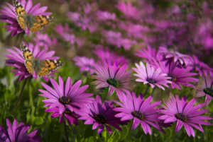 Bloom of purple asters with butterflies.