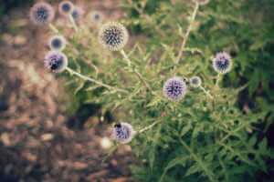 Bees perched on purple globe thistle flowers growing alongside a path