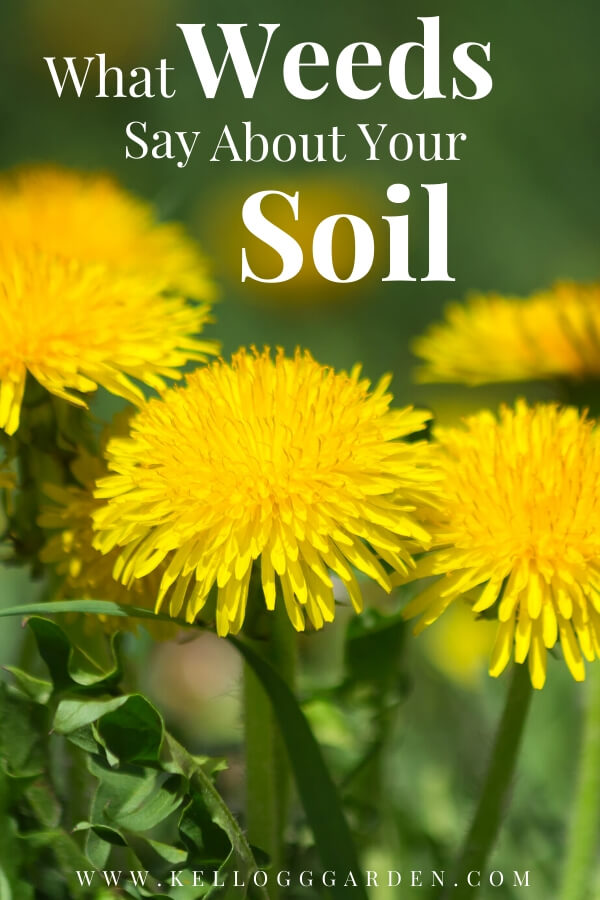 "Dandelions with text, ""What weeds say about your soil"""