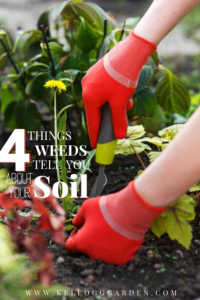 """Woman with red gloves pruning weeds in the garden with text, """"4 Things weeds tell you about your soil"""""""