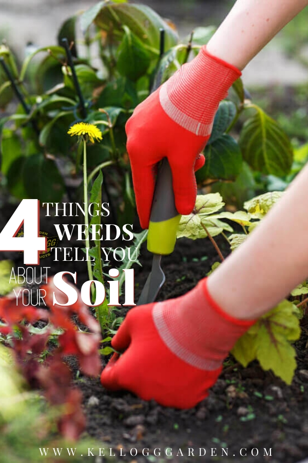 "Woman with red gloves pruning weeds in the garden with text, ""4 Things weeds tell you about your soil"""