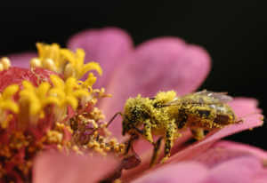 Bee on pink flower covered in pollen.