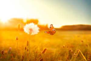 Butterfly flying towards a dandelion in a field.