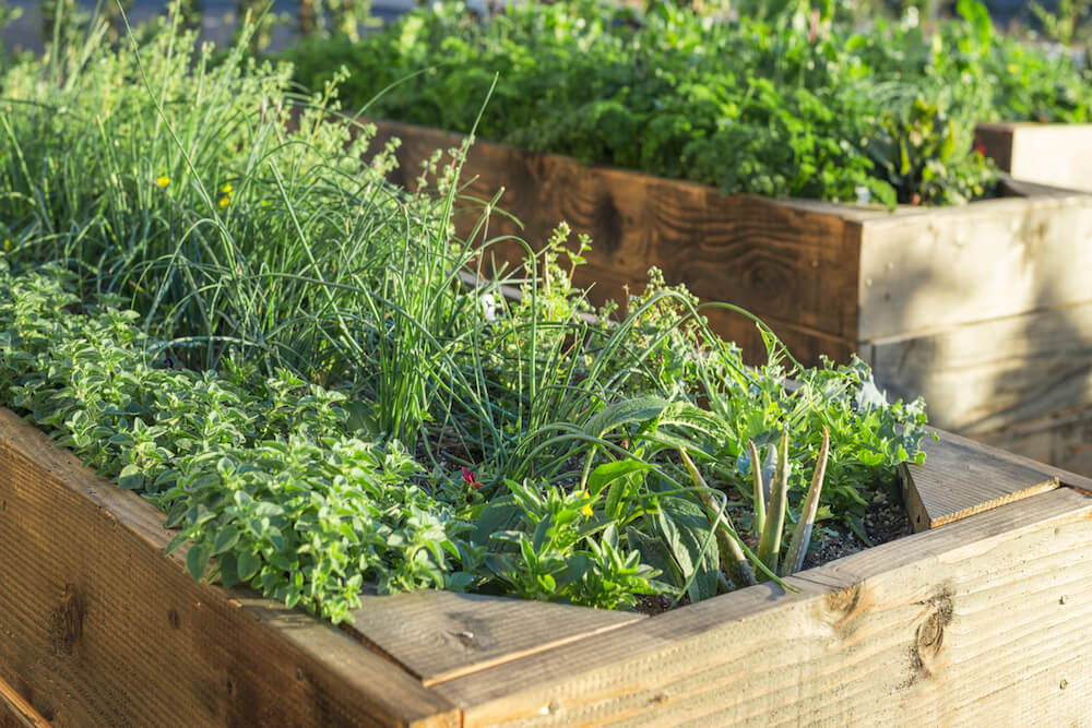Herbs in raised beds.
