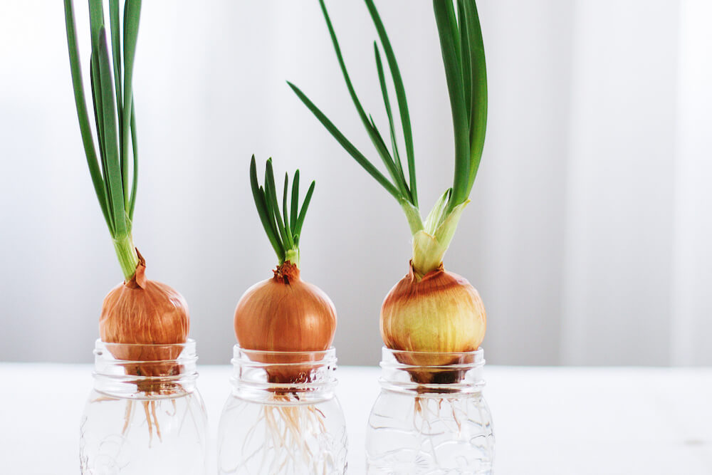 Spring onions growing in glass jars with water.
