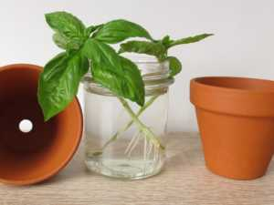 Regrow basil in a glass of water
