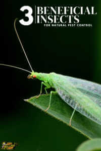 "Closes up of a lacewing with text, ""3 beneficial insects for natural pest control"""