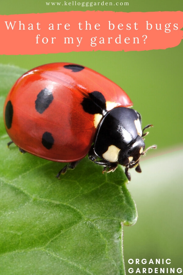 "close up of a ladybug on a leaf with text, ""What are the best bugs for my garden?"""