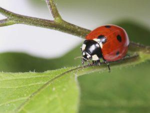 Ladybug, a Beneficial Bug
