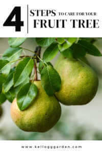 """Close up of a pair tree with text, """"4 steps to care for your fruit tree"""""""
