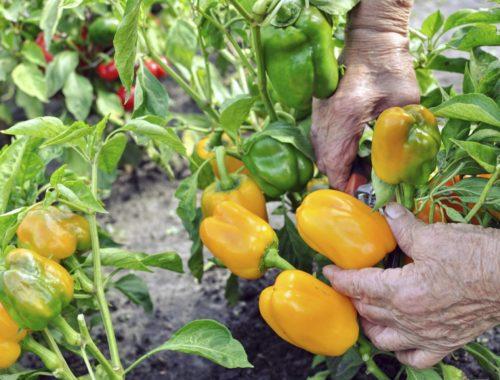 growing organic peppers