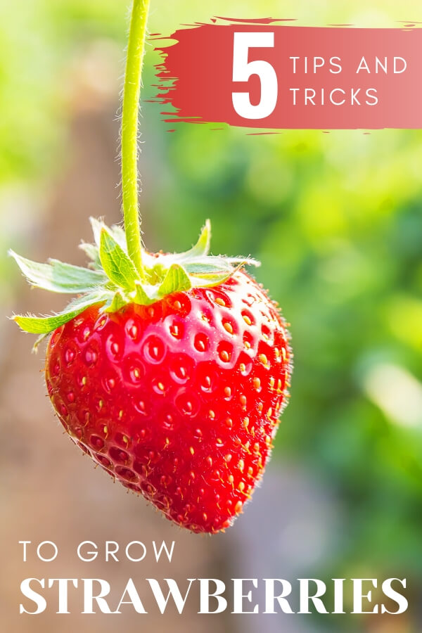 """Strawberry on the vine with text, """"5 tips and tricks to grow strawberries"""""""