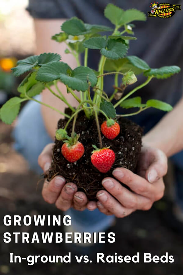 """Woman holding strawberry plant with text, """"Growing strawberries, in ground vs raised bed"""""""