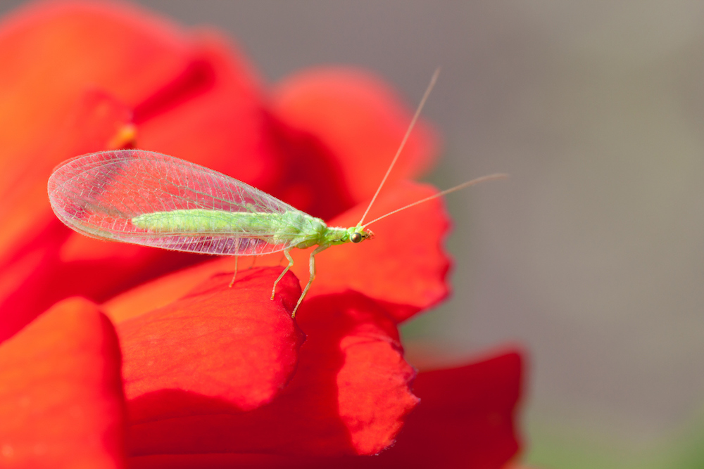 Green lacewing (Dichochrysa ventralis) on red flower.
