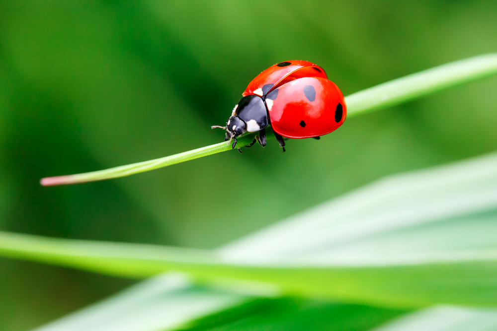Macro photo of Ladybug in the green grass