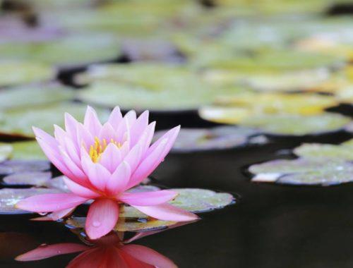 Pink Lotus plant clean water