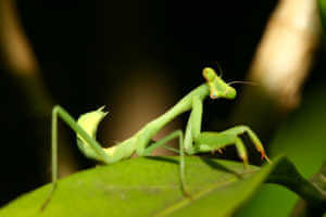 Close up of a praying mantis on a green leaf.
