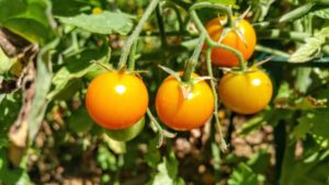 Tips for Tomatoes