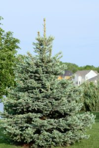 Spruce Tree for landscaping property lines