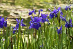 irises by water