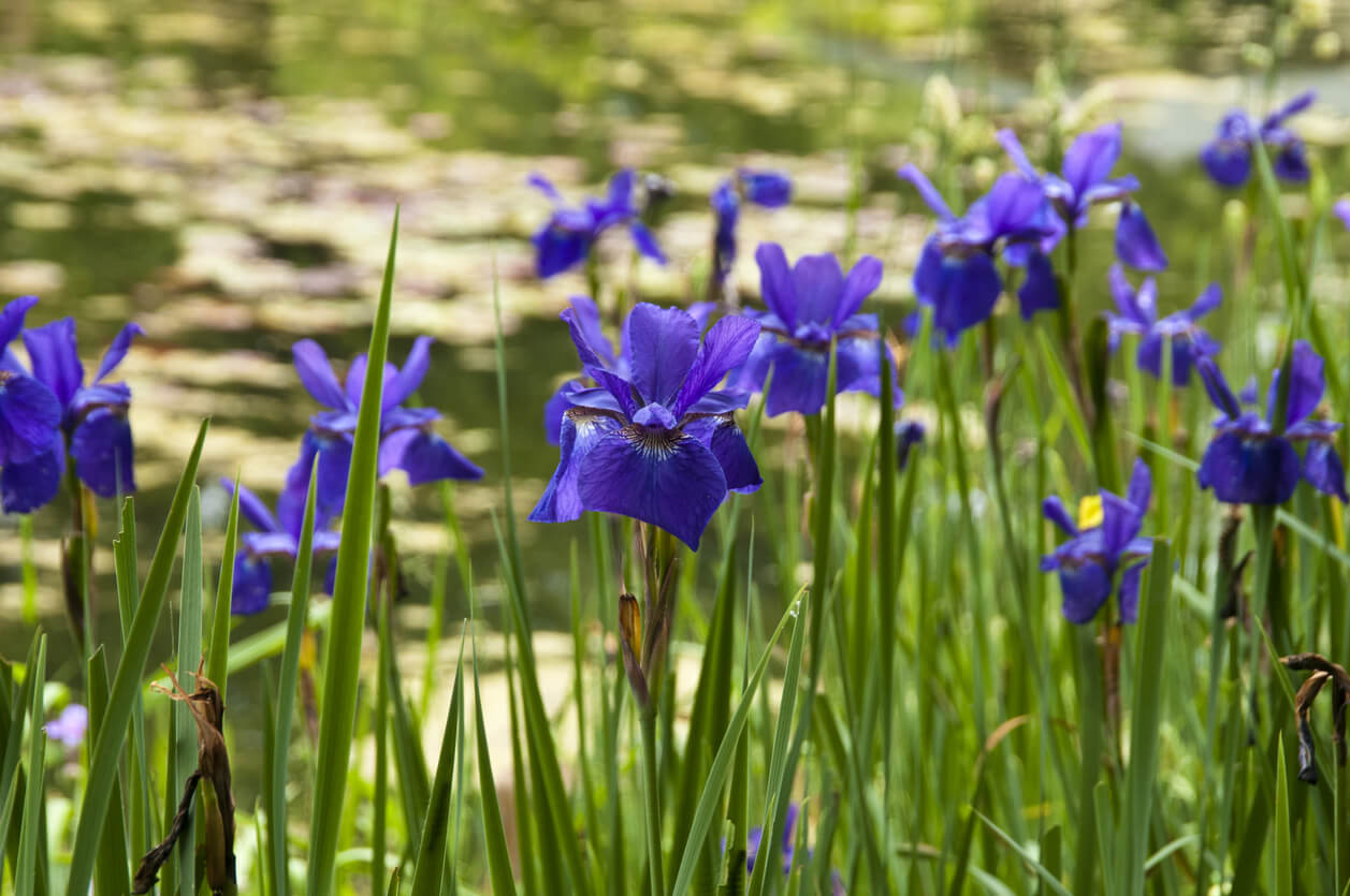 irises by water