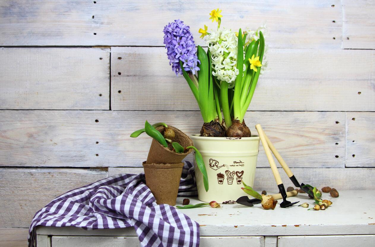 Tulip, Daffodil, Hyacinth bulbs in a bucket