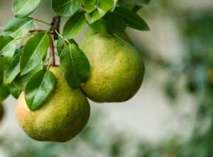 Two ripe pears on a branch in the orchard