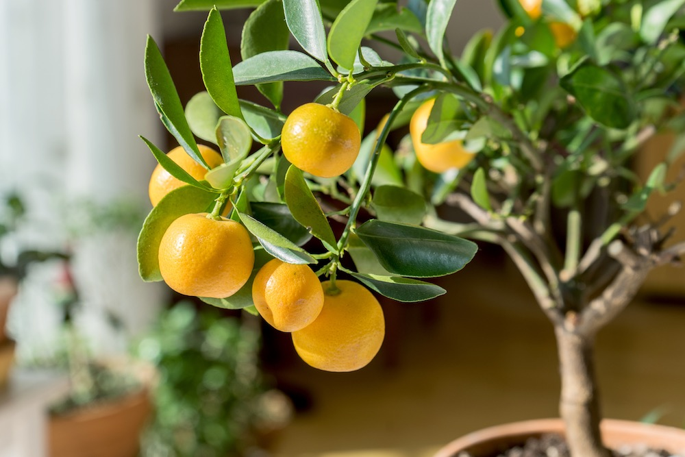 little orange tree in a pot