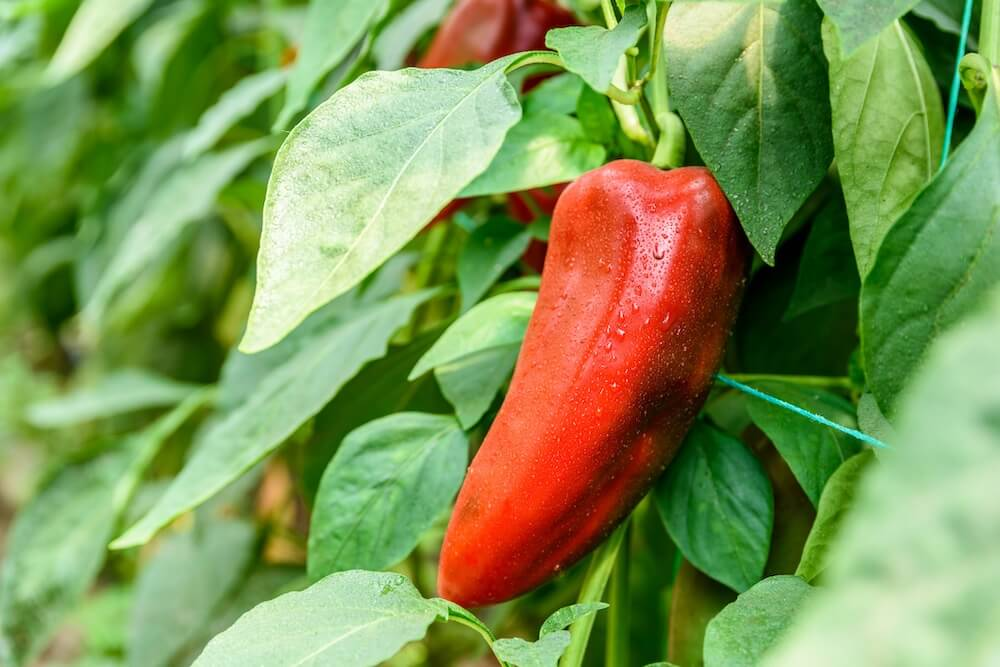 Red Pepper In Vegetable Garden Close Up