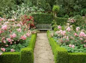 pink rose garden with green hedge