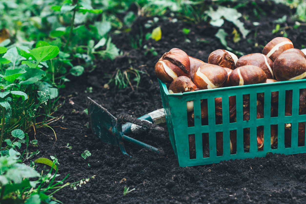 Tulip bulbs stored in the boxes with shovel on it and carried out for planting