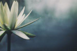 Lotus flower water filtration