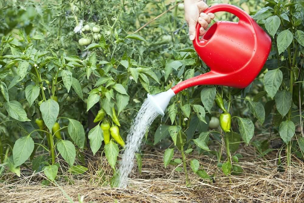Watering green pepper plants