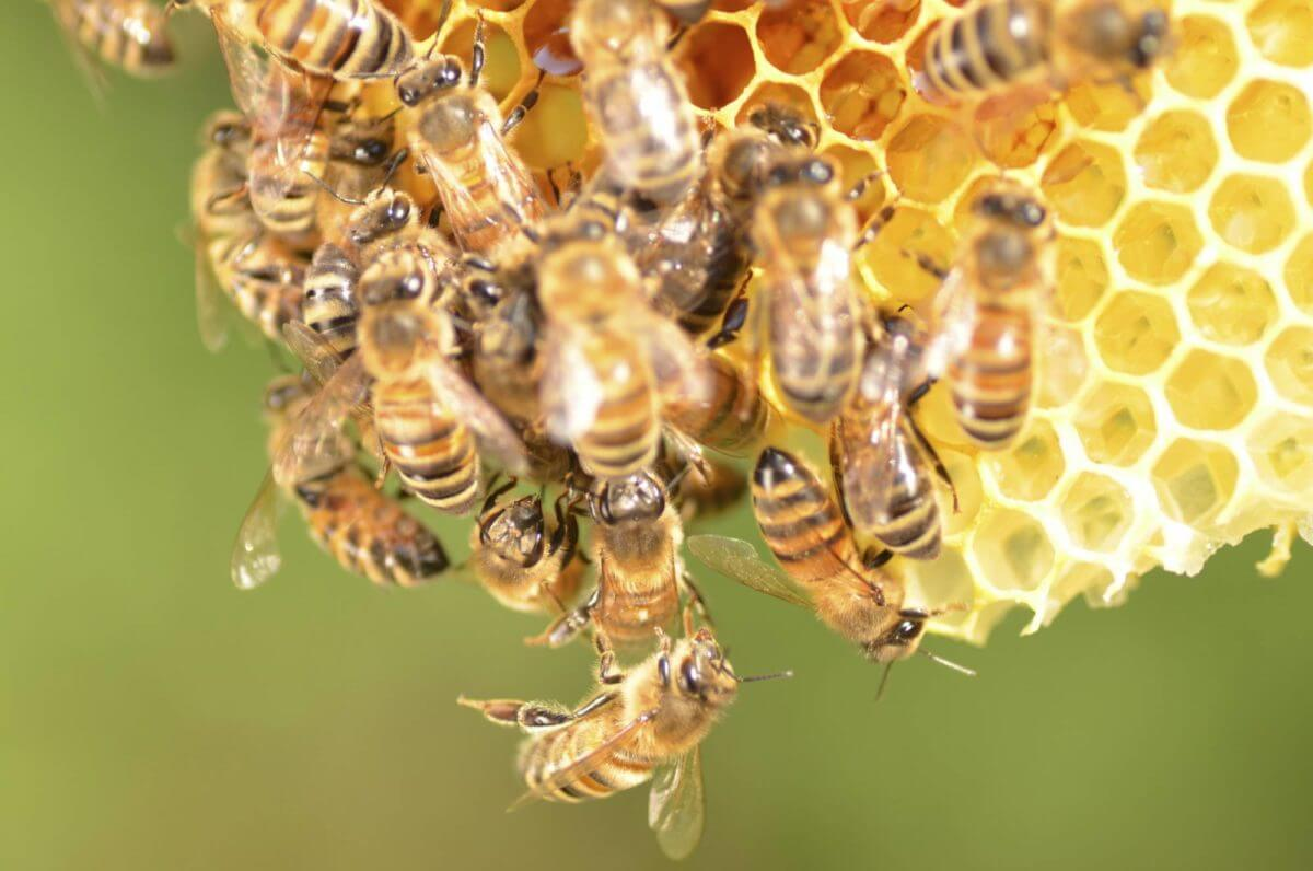 Queen Bee and Her Many Lovers Honey Bee Mating