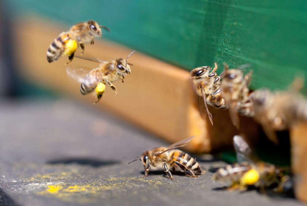 Honey Bees Flying Into Beehive Bringing Pollen