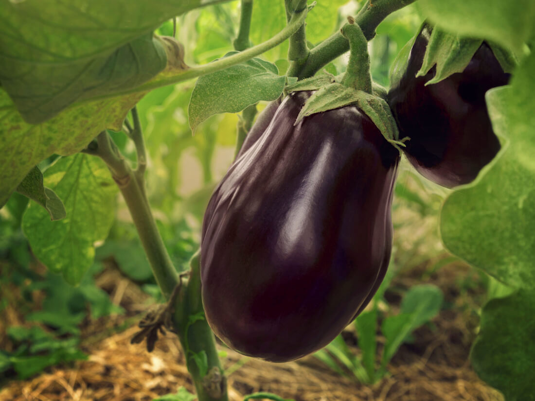 harvest eggplant